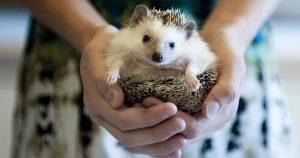 Ježek bělobřichý jako domácí mazlíček… Nenáročné zvířátko, které si zamiluješ.